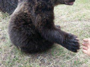Me high fiving a bear